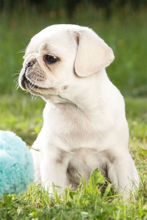white pugs puppies white pug puppies www imgkid the image kid has it