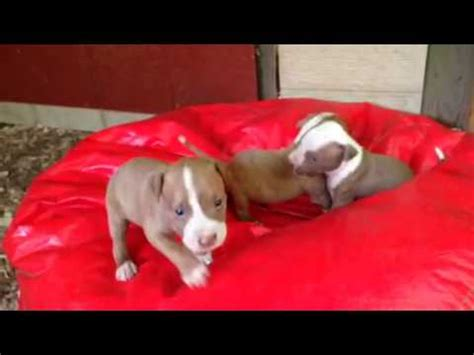 blooded pitbull puppies for sale boxer pit puppies 4 1 puppy bullboxer breed funnydog tv