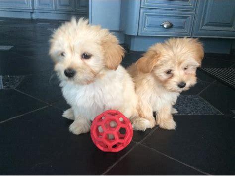 yorkie havanese puppies havanese yorkie puppy saanich sidney