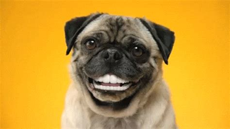 pug gif smile gif find on giphy