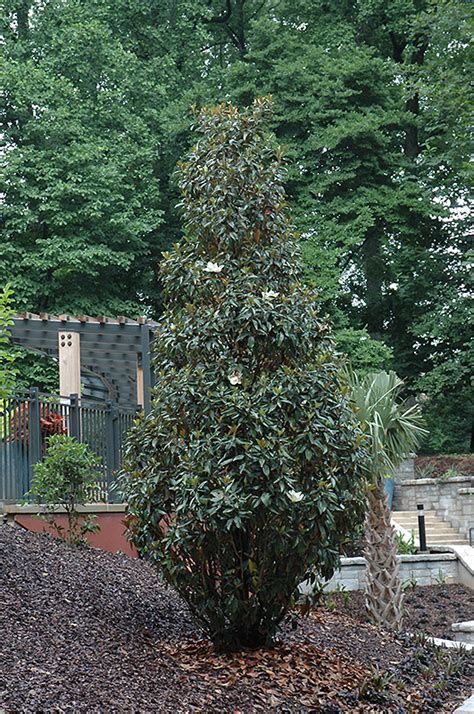 why does my little grem magnolia have dark brown leaves gem magnolia magnolia grandiflora gem in issaquah seattle bellevue redmond