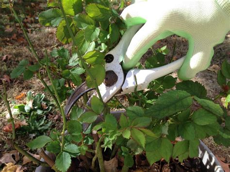 pruning roses  winter hgtv