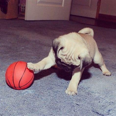 pug basketball 17 best images about puppy on mini bulldogs pomeranian husky