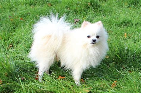 names for pomeranians pomeranian