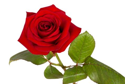 imagenes de rosas verdaderas foto gratis rose rojo rosa roja flor macro imagen