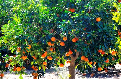patio orange tree orange tree garden www pixshark images galleries