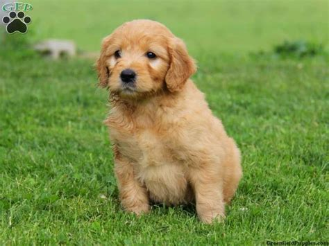 mini doodle puppies for sale in pa 19 best i want one images on goldendoodles