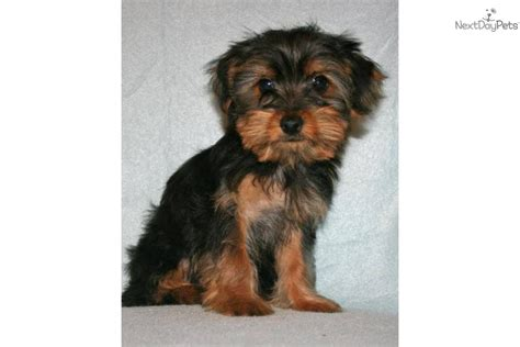 free yorkie puppies in arkansas terrier yorkie for sale for 500 near fayetteville arkansas 403ba52a ad31