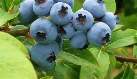 Berry Picking 2 by Hazen S Riverside Blueberries Coquille Oregon Fresh