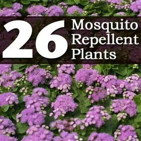 mosquito repellent plants gardens pinterest
