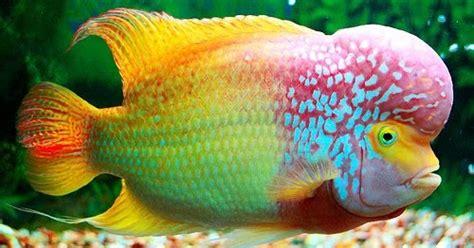 Pakan Ikan Louhan Alami tips memelihara lou han pisces center
