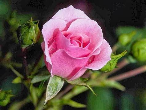 wallpaper bunga mawar gambar setangkai mawar merah download gambar gratis car