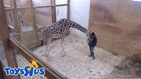 april  giraffe vet loses temper  fans desperate
