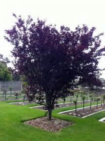 prunus cerasifera nigra flowering plum details of the plant tga australia
