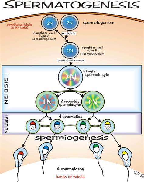Rahvayana 1dan 2 spermatogenesis dan oogenesis perbedaan spermatogenesis dan oogenesis
