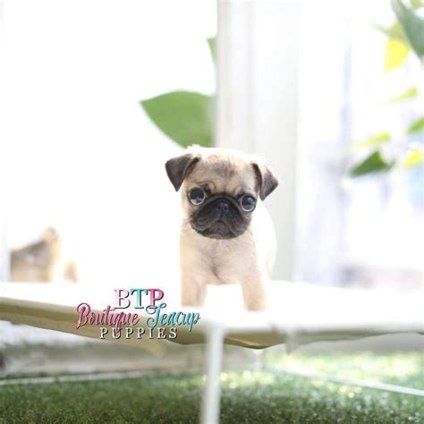 pug breeders in michigan best 25 pug puppies for sale ideas on pugs pug puppies and baby pugs for