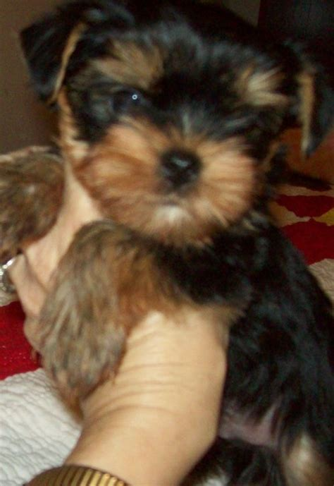 free puppies in nc dogs raleigh nc free classified ads