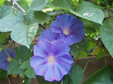 morning glory acuminata blue dawn perennial pint plant