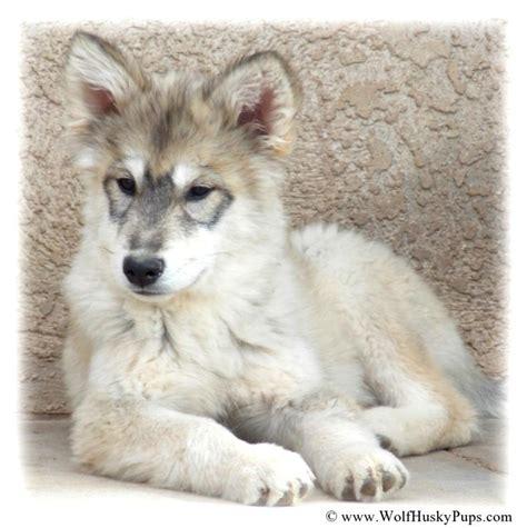 wolamute puppies for sale wolamute puppies canadian timber wolf gray wolf alaskan malamute