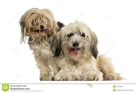 yorkie panting shih tzu and terrier panting isolated stock photography image 37452002