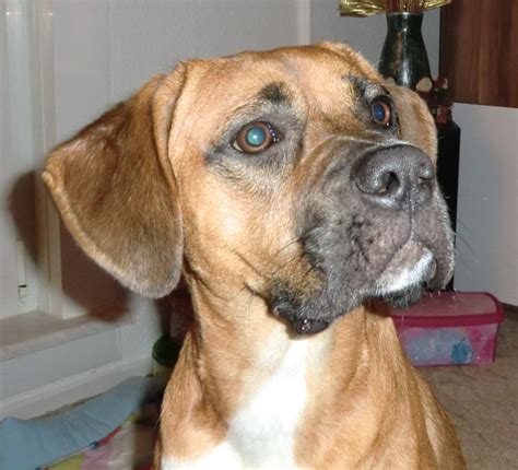 rhodesian ridgeback mix puppies 16 best images about rhodesian ridgeback boxer mix on adoption shelters