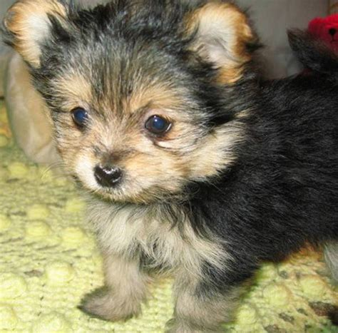 famous people who own yorkie poms pomeranian yorkie tumblr