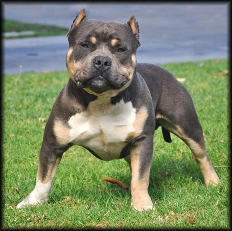tri color pitbulls for sale pitbull dogs tri color pitbull eternal doom tricolor