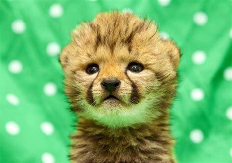 baby cheetah cub to become part of busch gardens cheetah endangered animals archives animal fact guide