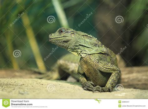 Amboina Photography amboina sailfin lizard royalty free stock photography
