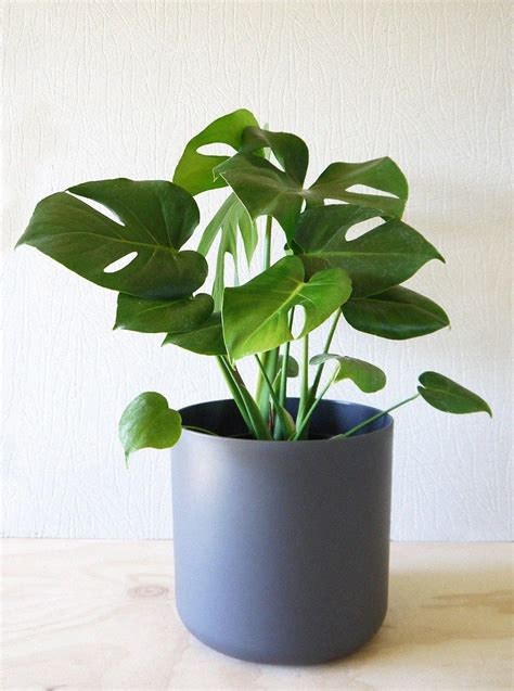 pin  rumit  indoor plants planting flowers plants