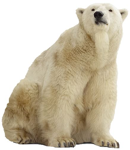 polar bear png pic  designing projects