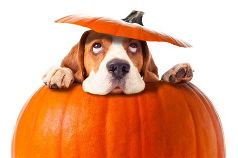 what does pumpkin do for dogs the barking lot america s finest 10 03 15