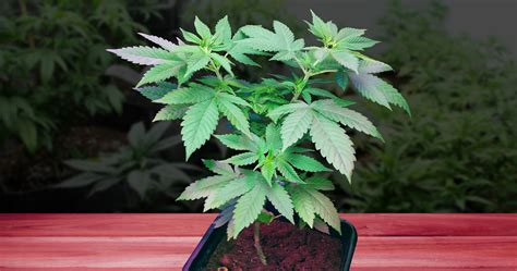 how to maintain healthy mother plants