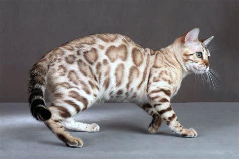 adoption sacramento ca bengal kittens for adoption sacramento ca second cat toys