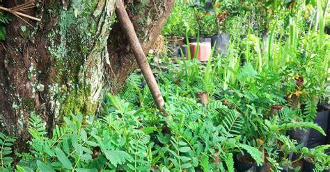 Benih Rambutan Gula Batu bumi hijau nursery 002279488 d benih pokok turi