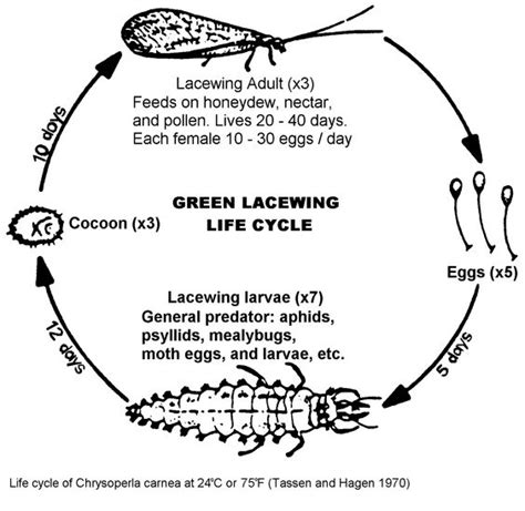 cycle of aphids diagram green lacewing cycle great to help aphids in