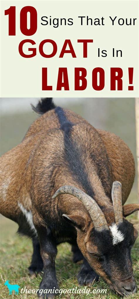 signs your is in labor m 225 s de 25 ideas incre 237 bles sobre establo de cabras en corral para cabras