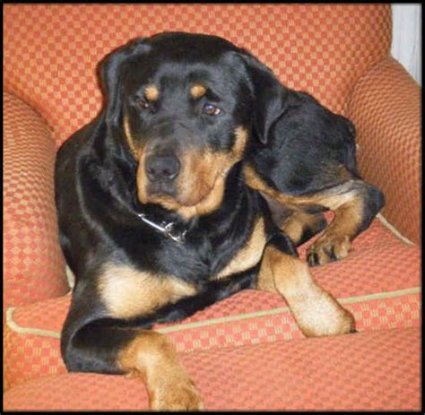 rottweilers wisconsin lightning ridge rottweiler kennel appleton wi rottweiler puppies for sale