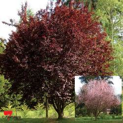 prunus flowering plum quot nigra quot perth wa online garden centre