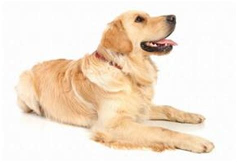 cancer golden retrievers symptoms canine liver cancer lovetoknow