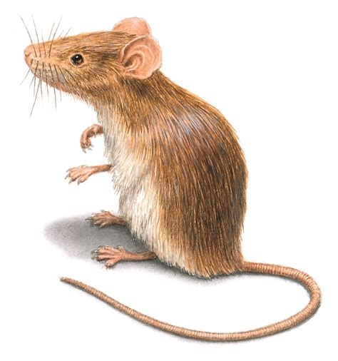 house mouse rodent pictures rat mouse photos images