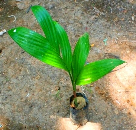Bibit Pinang serang jual bibit tanaman