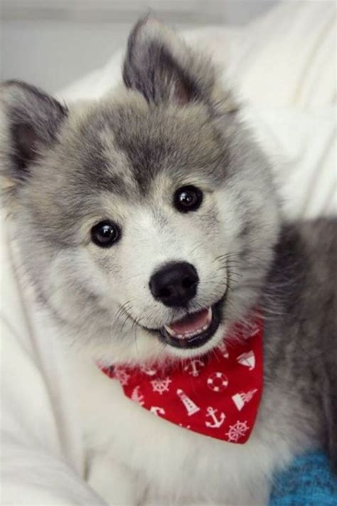 what do pomeranians like best 25 teacup pomeranian husky ideas on pomeranian husky puppies