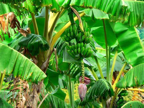 Pflege Bananenpflanze by Bananenpflanze Pflege Und Anbau Als Zimmerpflanze