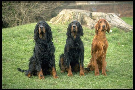 setter dogs carthageagriculture setter