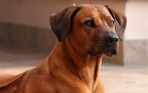 Rhodesian Ridgeback Dog Breed » Information, Pictures, & More