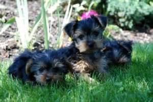 yorkie puppies richmond va dogs richmond va free classified ads