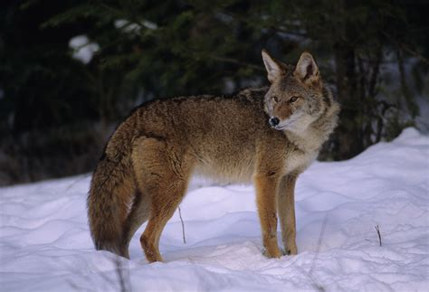 coyote images coyote
