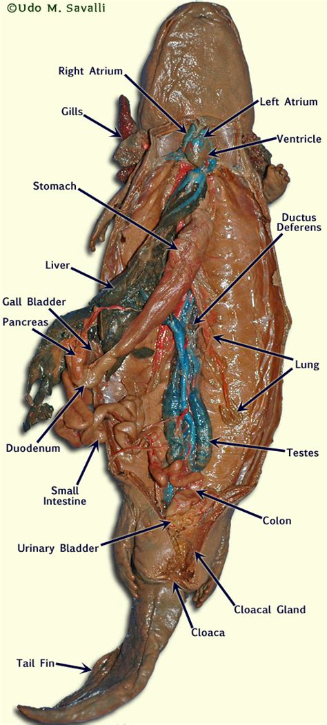Salamander Internal Anatomy