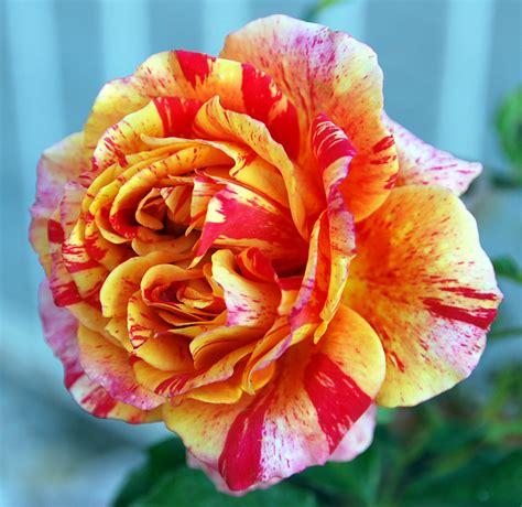 imagenes rosas de todos los colores fotos de flores rosas de varios colores
